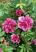Shrub rose 'Hansa', Rosa rugosa, fragrant, more flowering