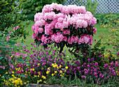 Rhododendron yakushimanum 'Polaris', Erysimum' Bowles