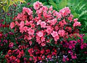 Rhododendron obtusum 'Blauw's Pink' (Japanese Azalea)