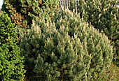 Pinus mugo 'Pug'