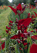 Atriplex hortensis 'Red Spire'