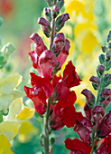 Antirrhinum majus 'scarlet fever'