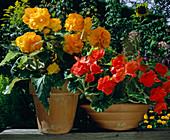 Begonia tuberhybrida 'Nonstop