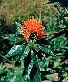 Carthamus tinctorius (safflower)