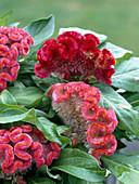 Celosia cristata 'Olympia'