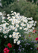 Argyranthemum frutescens 'Vera' (marguerite)