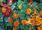 Tropaeolum majus 'Tip Top Alaska Blend' (Nasturtium)