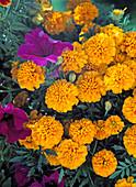 Tagetes patula 'Aurora Gold' (Marigold)