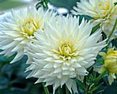 Dahlia hybrid 'My Love' (cactus dahlia)