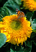 Helianthus annuus (sunflower) with butterfly