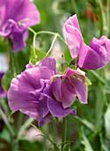 Lathyrus odoratus (fragrant pea-pea)