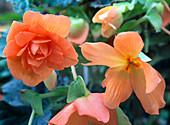 Begonia 'Panorama' Apricot (begonia)