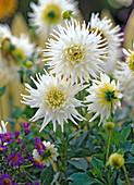 Dahlia 'My Love' (white cactus dahlia)