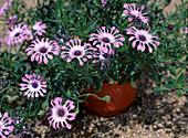 Osteospermum eklonis (Dimorphyteca)