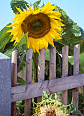 Helianthus annuus 'Sunbright Supreme' (Sunflower)