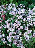 Lavatera trimestris 'Silver Cup' (Pink annual mallow)
