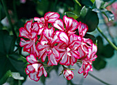 Pelargonium peltatum 'Mexican' (Hanging Geranium)