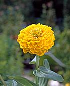 Zinnia 'Oklahoma yellow'
