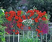 Begonia, bulbous begonia-Hybrid 'Nonstop Scarlet'
