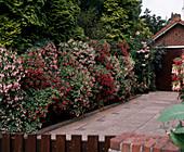 Fuchsia hedge