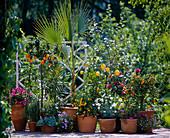 Bougainvillea, rosemary, Citrus aurantium Var.myrtifolia
