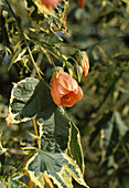 Abutilon pictum (Chinese lantern)