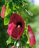 Aristolochia elegans