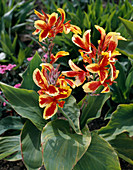 Canna indica Queen Charlotte'