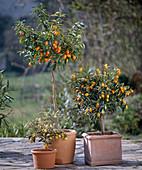 Fortunella japonica variegata, Fortunella japonica (Kumquat)