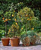 Citrus aurantium var. Variegata, kumquat, citrus