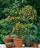 Citrus aurantium var. Variegata, Citrus sinensis, Kumquat