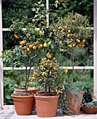 Citrus aurantium Var.myrtifolia, Citrus limon