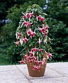 Fuchsia-HYBR.