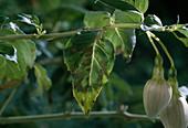 Fuchsia rust