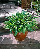 Elettaria cardamomum (cardamom)