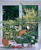 Aromatic plants, Cytisus, Exacum, Gardenia, Cistus