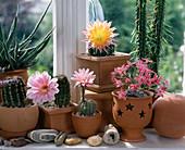 Echinopsis hybrids