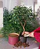 Ficus wiandii von Erde auf Hydrokultur umstellen