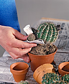 Baby cactuses with newspaper sleeve