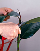 Head cuttling of rubber tree