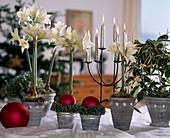 Weihnachtliche Gestaltung mit Hippeastrum-Hybr. 'Jewell'/ Amaryllis