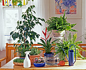 Ficus benjamina, Aloe longistyla, Vriesea hybrid