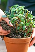 Continuous Azalea cultivation