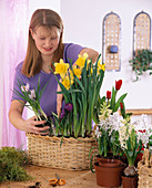 Basket with crocus, daffodil, tulips and