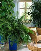 Nephrolepis, Sparmannia africana, Ficus longifolia