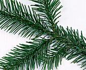 Abies nordmanniana (Nordmann fir) branches