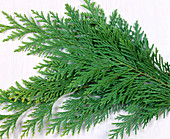 Branches of Chamaecyparis (yellow cypress)