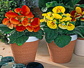 Calceolaria hybrids