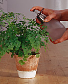 Spraying maidenhair fern