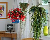 Hanging baskets, Rhipsalidopsis (Easter cactus)